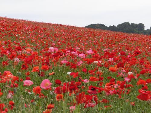 4トラメンバーさんの旅行記を見て知った、埼玉県秩父の 『天空のポピー』<br />真っ赤なポピー畑を見たくて、わたしも行って来ました (^^)/