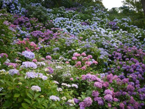 海と、山一面の紫陽花にほっこりと ~伊豆・下田公園~