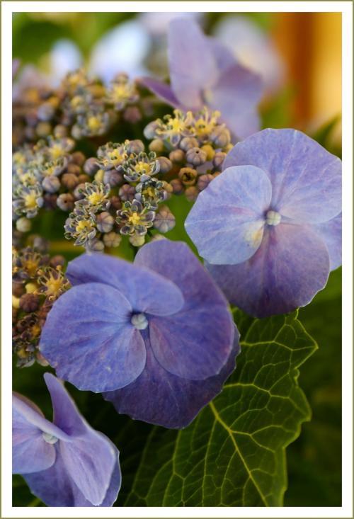 Solitary Journey [1606] 青や白などの紫陽花が色とりどりに咲き揃う三景園の初夏を満喫&盆栽展<三景園花まつり>広島県三原市
