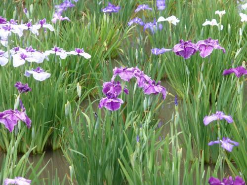 北山公園の花菖蒲を見に里山ハイキング