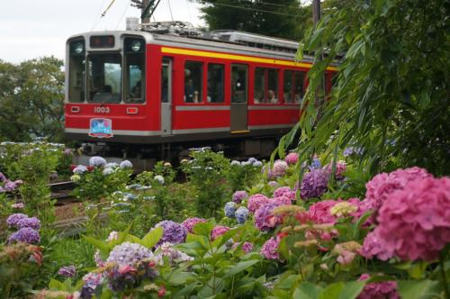 あじさいの花が咲く箱根を散策①阿弥陀寺~紫陽花の小道~千条の滝とあじさい電車