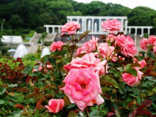 再び神戸、バラの須磨離宮公園から御影の香雪美術館へ!