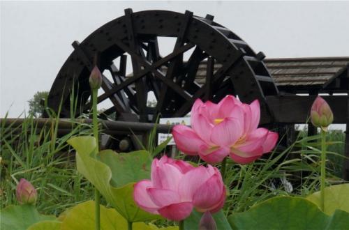 霞ヶ浦総合公園 梅雨の水辺 迫力の花蓮は種類いっぱいで美しかった~