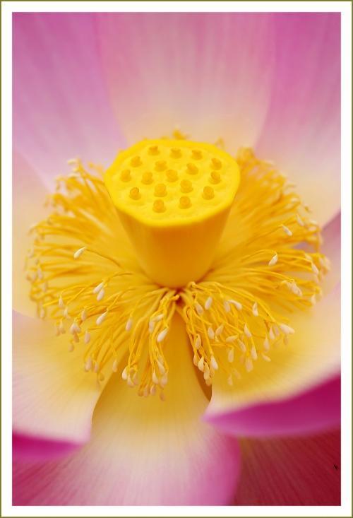 Solitary Journey [1615] 美しい蓮の花、大輪の花を咲かせるためにはものすごく汚い泥水が必要なのですネ。<棲真寺>広島県三原市