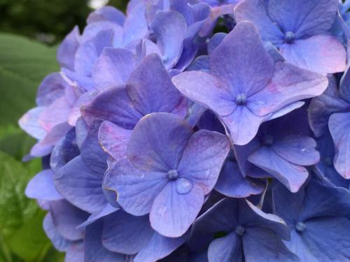 思い付きで出かけた千葉のあじさい寺「本土寺」~雨上りの紫陽花はキラキラでした~