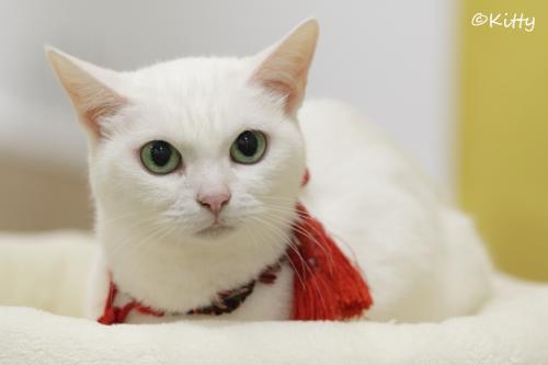今をときめくアイドル猫に会ってきた♪<「猫侍」玉之丞(あなごちゃん)撮影会>