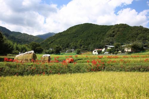 神奈川の花の名所100選のひとつ、日向(ひなた)薬師の彼岸花を楽しみに出掛けました。<br />伊勢原市にある日向薬師の周辺の日向地区は、「彼岸花の里」と呼ばれ、9月中旬から下旬にかけて日向川の堤防や、田圃の畔道が赤く染まります。<br />久しぶりに青空が広がり、暑いくらいの天気でしたが、里の秋を楽しませてもらいました。<br />