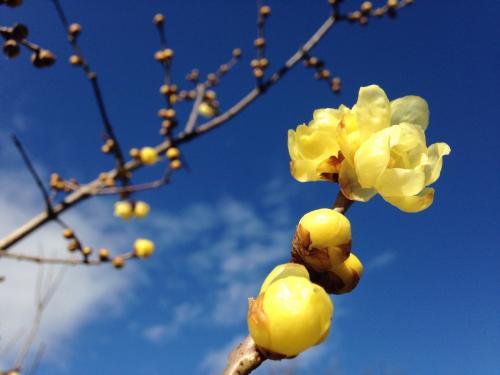 白馬八方尾根風強し!リフト動かず!! 美味しいお蕎麦でも食べて帰ろう☆庭には咲き始めたばかりの蝋梅の花~^^/