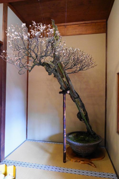 長浜盆梅展が今年も始まりました!2016年