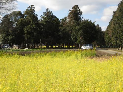 明和町の菜の花が見たくて行きました。そこは、国史跡「斎宮跡」の場所でした。