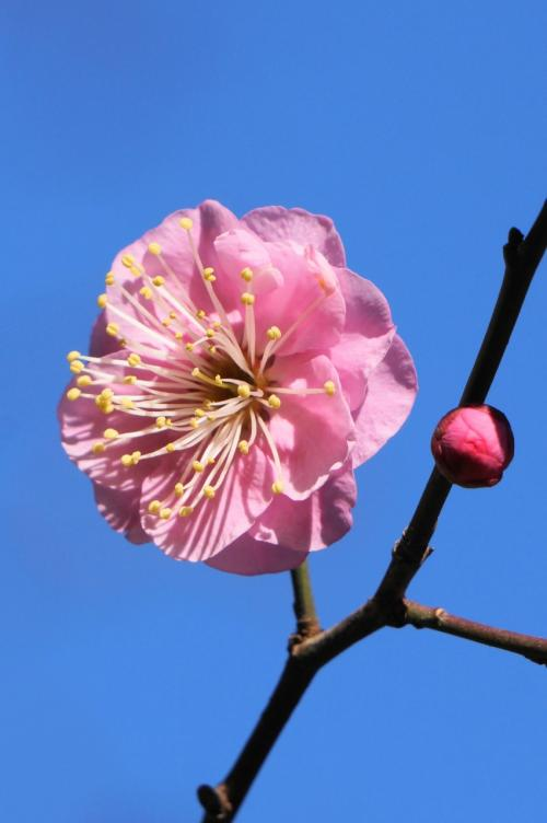 早春を告げる梅が咲き始めた明石御厨神社