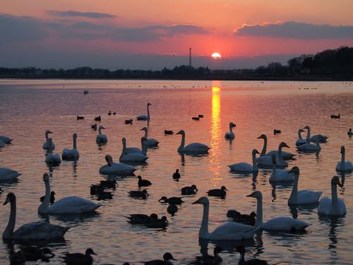 多々良沼に飛来した白鳥と夕日を撮りに行ってみました☆[①]