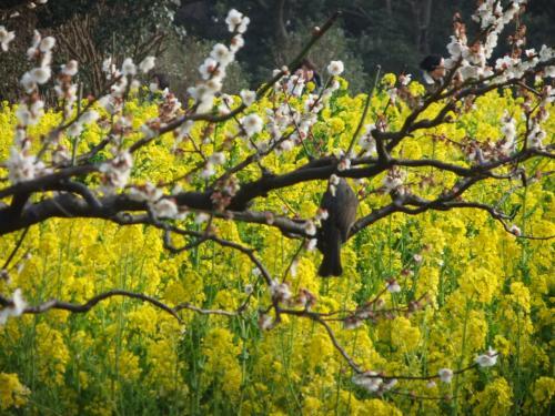 菜の花・梅・つばきが咲いていた浜離宮恩賜庭園