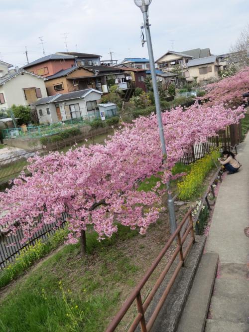京都・伏見に河津桜が満開との事、朝飯も食わずに電車に飛び乗る。