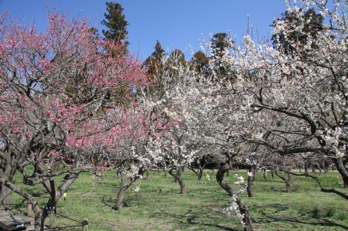 2月に岡山後楽園に行ったので、今月は水戸偕楽園へ。<br />梅の花は見ごろを若干過ぎた感じではありましたが、まだきれいに咲いていました。<br />平日なので、駐車場にも簡単に入ることができました。<br />土日は混むのかしら???<br />土日には偕楽園臨時駅が偕楽園横にできるらしいです。<br />