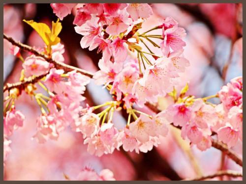 幻のサクラ/十六羅漢の寺【蜜蔵院】 安行桜