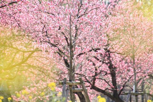 古河市 花桃の里  街の中の桃源郷へようこそ!