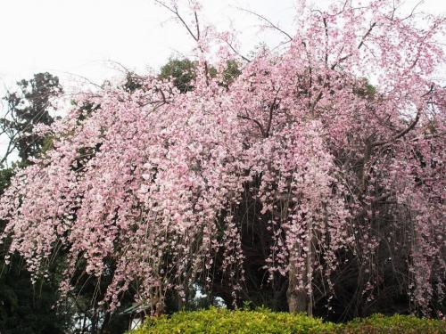桜が咲いたから・・・「櫻木神社」ヘ桜旅☆彡 さくらの日限定・可愛い御朱印と枝垂れ桜