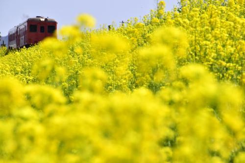 黄色い春色の風景を探しにいすみ鉄道に訪れてみた
