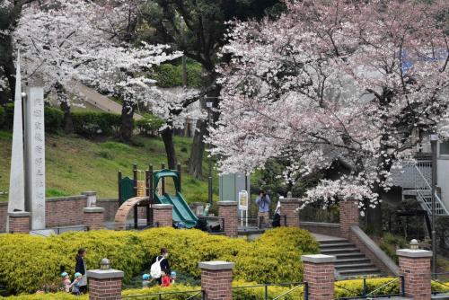 横浜元町公園の桜散歩 2016(神奈川)