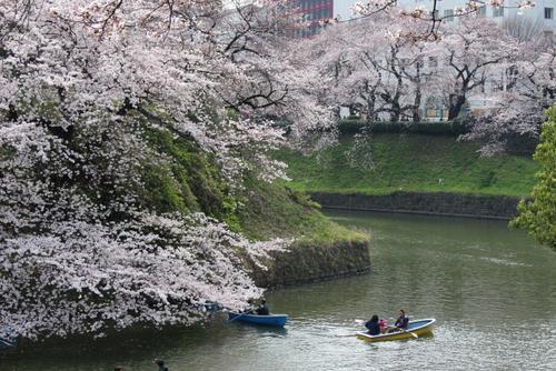 3月31日、東京地方の桜が満開となると聞いて、急いで千鳥ヶ淵へ出かけました。<br /><br />東京メトロ(地下鉄)九段下駅から千鳥ヶ淵をぐるっと一周。千鳥ヶ淵ボート場を通って、北の丸公園、武道館と回ってくるコースです。<br /><br />想定通りすごい人出でしたが、桜は満開。好天に恵まれ、十分堪能できました。<br /><br />