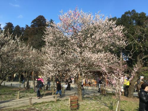 少しずつ春の日差しに近づいてきて、各地から梅の便りを聞くようになりました。<br /><br />そういえば久しく梅を楽しんでいないなぁ。<br /><br />よし、偕楽園に行ってみよう。<br /><br />そう思い立って急遽水戸行きを決行。<br /><br />十分梅の花の美しさを堪能してきました。<br /><br />