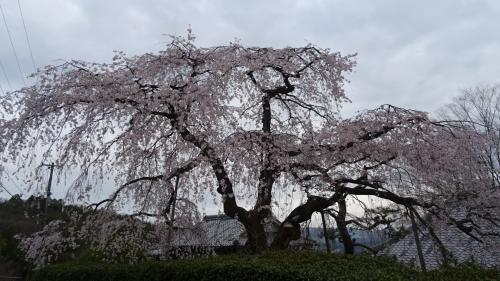 川西市高原寺の枝垂れ桜が満開になっていました 上巻。