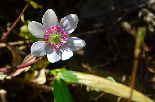 2016 春の訪れを知らせる春の妖精・雪割草等