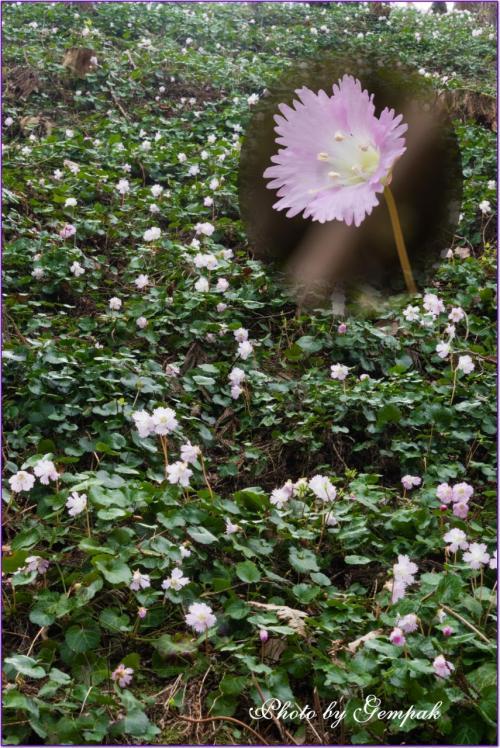 杉林の山肌に群生するイワウチワを愛で、美味なる温泉トラフグを味わう