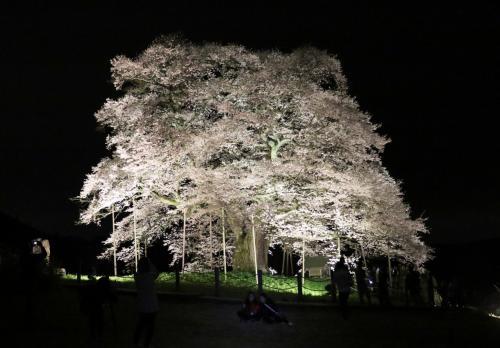 7度目の逢瀬はライトアップされた満開の醍醐桜