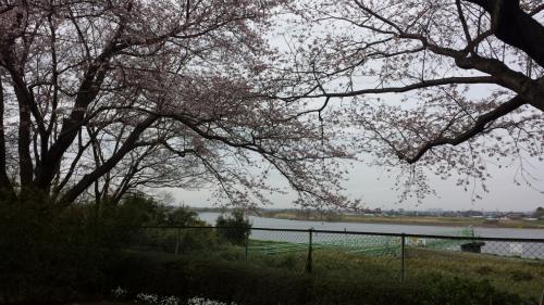 取手の桜 2016  岡堰の桜とかたらいの郷、ふれあい道路沿いの桜並木~