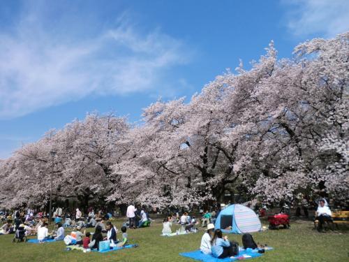 桜満る都立小金井公園