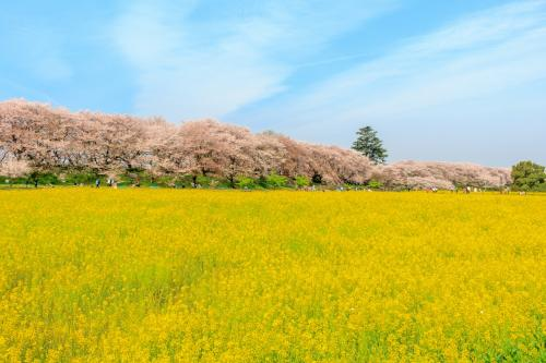 菜の花と桜の絶景コラボ~権現堂桜堤~