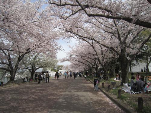 日本さくら名所100選にも選ばれている万博記念公園で花見?