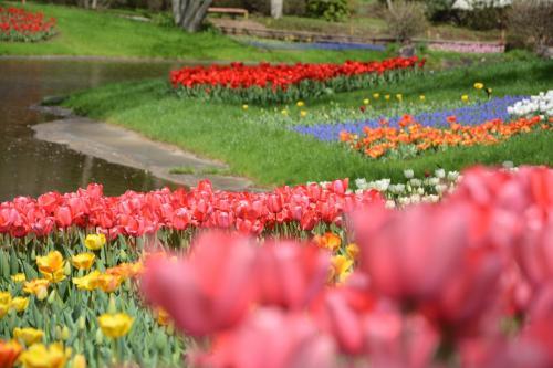 あれだけ見事だった満開の桜も、どこも若葉が芽生え桜前線も北へ移動してしまいましたね。<br />そうなると主役はチューリップ。<br />今年も4トラで昭和記念公園をこよなく愛する人たちのチューリップのオフ会が9日土曜日に開催されました。<br />事前の情報だとチュリーリップはまだ早いのでは・・・<br />でも、なかなかいい感じに咲いていて、アイスランドポピー・ムラサキハナナ・菜の花と盛りだくさん。そしてこの日の主役だったのは、意外なことに旬が過ぎていると思った桜。<br />今年は桜が咲いてからどんよりつぃた花曇りや雨が続いていて、青空のもと花見ができなかったので、見事な桜と舞い散る花吹雪の中での花見の宴、盛り上がりました。<br />