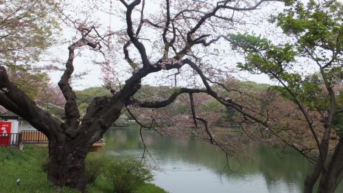 ソメイヨシノは終わってしまい、八重桜はまだ・・・。でも「県立三ッ池公園」、なかなかいいです。