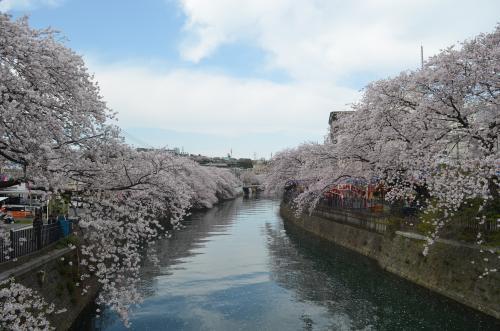 横浜 大岡川プロムナードの桜は全国4位