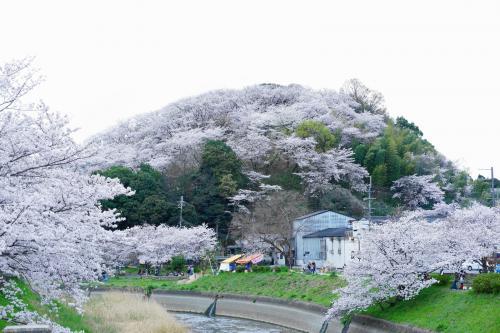 奈良の桜巡り 2016、でも去年と違うよ!