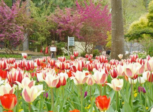大阪府立「花の文化園」 、春の花々に魅せられて~ (チューリップ・ボタン・ユキモチソウ)