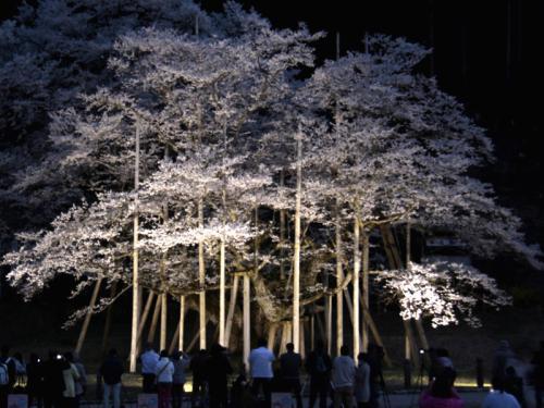 根尾谷の淡墨桜を訪ねて1泊2日の旅 4−2 根尾の淡墨桜ライトアップ 編