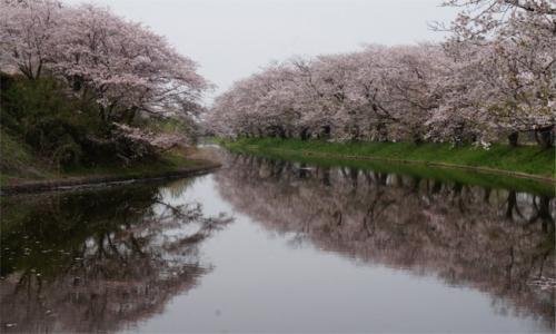 魅力度最下位県だけど~ 素敵な花景色めぐりに行ってきた!福岡堰の桜編