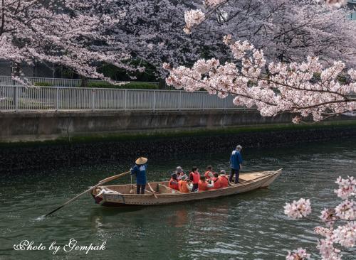 江戸情緒が色濃く残る深川エリアで都会の花見