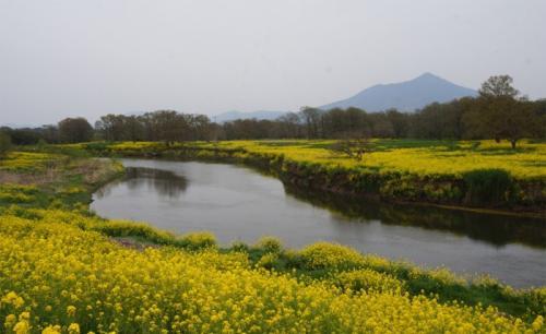 魅力度最下位県だけど~ 素敵な花景色めぐりに行ってきた!小貝川河川敷の菜の花絶景編