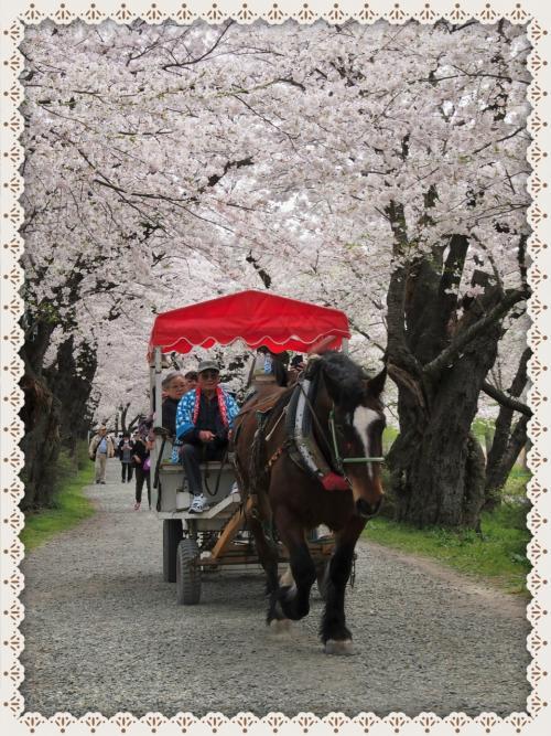 みちのく三大桜名所のひとつ、北上展勝地