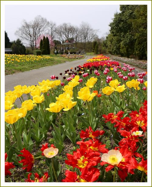 Solitary Journey [1744] 春うららかな、色鮮やかな夢の空間チューリップ・アネモネの花が満開♪<備北丘陵公園花の広場>広島県庄原市