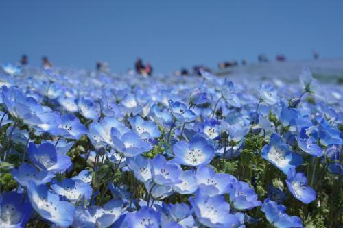 春の国営ひたちなか海浜公園~快晴の青空の下、雪化粧のようなネモフィラ・ブルーの絶景を楽しみました~(調整中)