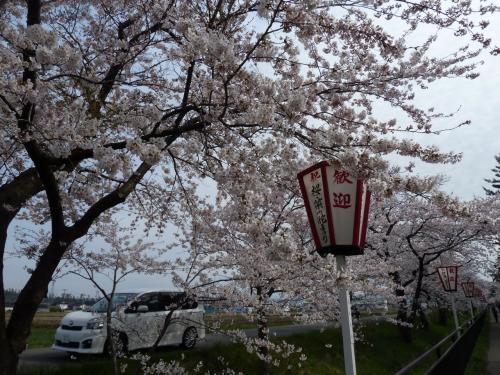 西目桜祭りとハーブワールドへ