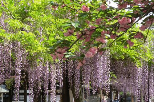 野山の花を巡る「葛井寺の藤の花」