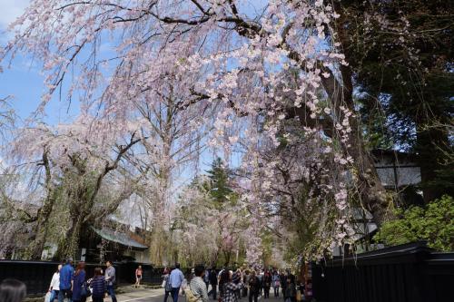 角館から花巻温泉経由、北上展勝地のさくら巡り旅(一日目)~武家屋敷を見下ろすほど高く伸びた老桜を見上げると花の枝はまるでシャワーのよう。うららかな春の一日、しだれ桜の下をのんびりそぞろ歩きです~