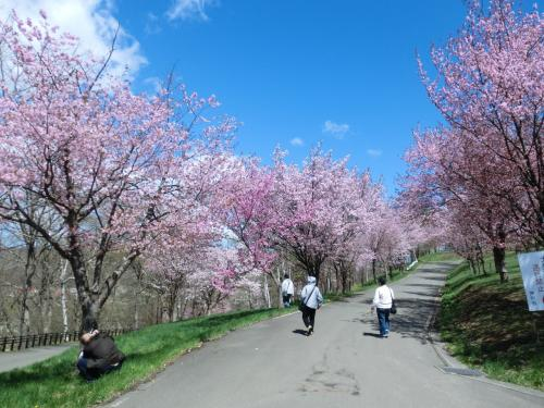 芦別旭ヶ丘公園~桜満開! まったりと春を満喫、今年最初で最後のお花見です!
